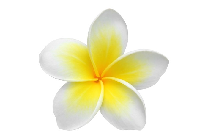 Frangipani Plumeria Flower Isolated On White Wall Mural