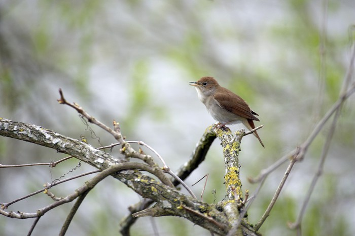 Nálepka Pixerstick Rossignol Chantant - Ptáci