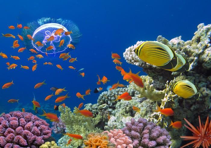 Papier peint corail et poisson rouge dans le sea egypt for Acheter poisson rouge 77
