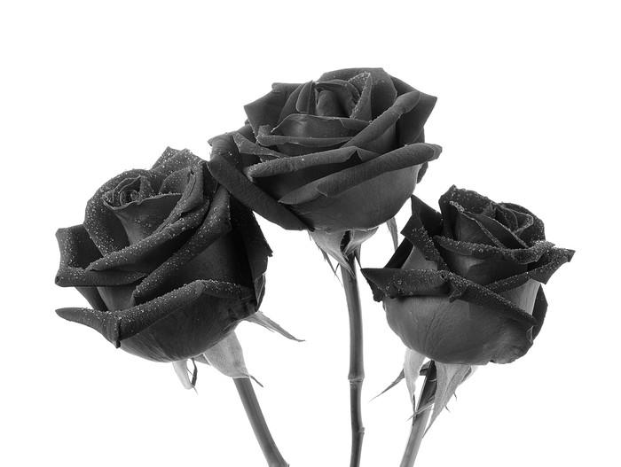 tapete schwarze rose auf wei em hintergrund pixers wir leben um zu ver ndern. Black Bedroom Furniture Sets. Home Design Ideas