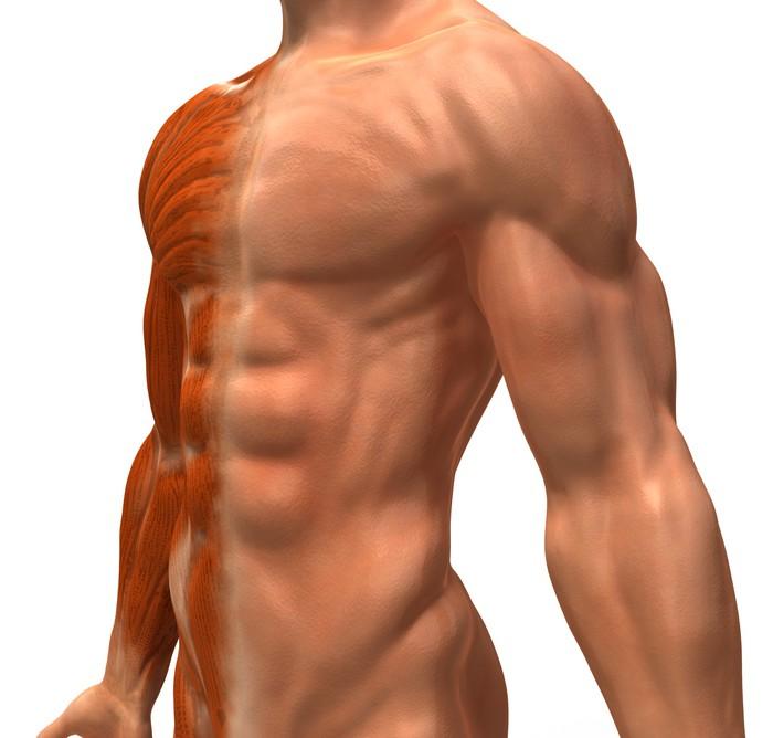 Fotobehang Anatomie et systeme musculaire • Pixers® - We leven om te ...