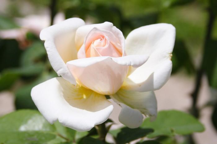 Carta Da Parati Rosa Bianca : Carta da parati rosa bianca 2 u2022 pixers® viviamo per il cambiamento