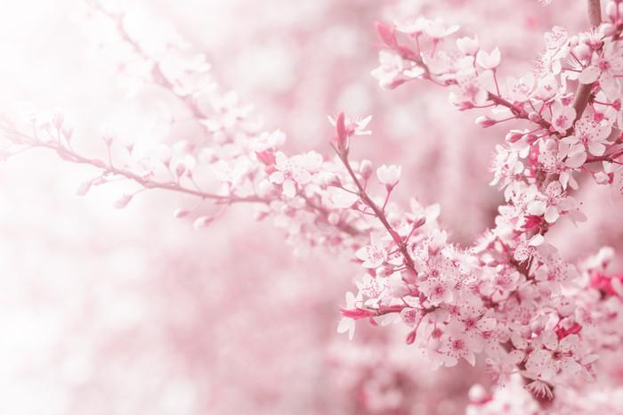 Carta Da Parati Fiori Di Ciliegio : Carta da parati fiore di ciliegio in primavera u pixers viviamo