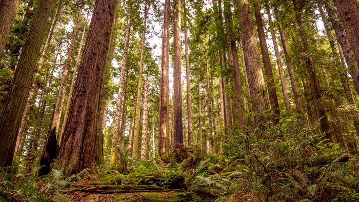 Vinylová Tapeta Redwood forest - Příroda a divočina