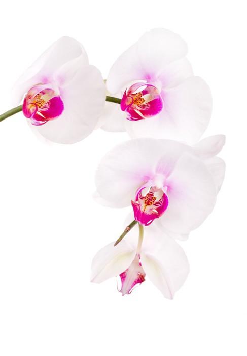 Vinylová Tapeta Orchidej na bílém - Nálepka na stěny