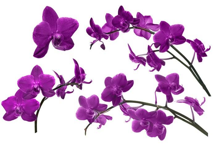 Fototapete Dunkellila Sammlung Orchideenblüten Isoliert Auf Weiß