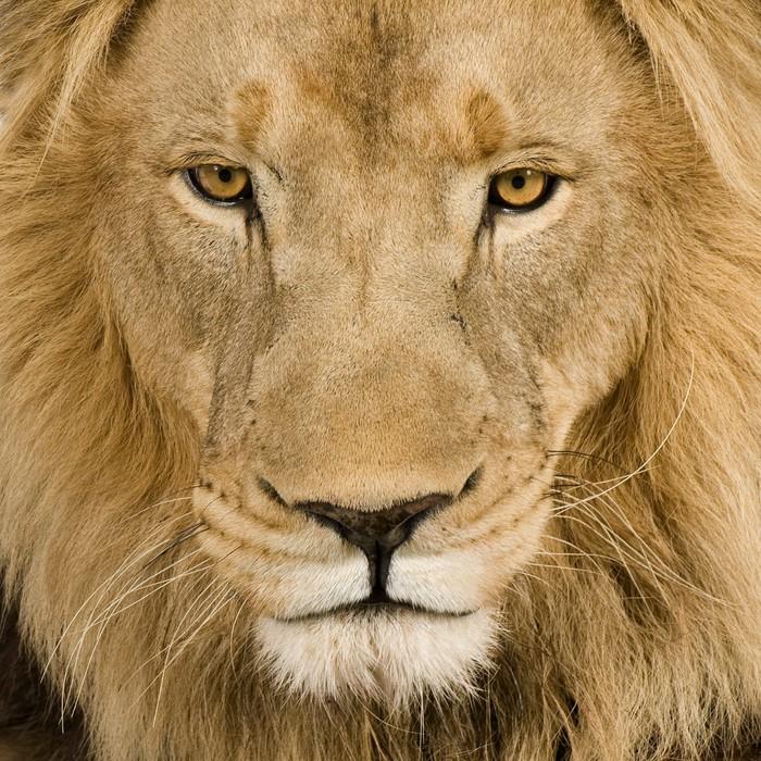 papier peint gros plan sur la t te d 39 un lion 4 ans et demi panthera leo pixers nous. Black Bedroom Furniture Sets. Home Design Ideas