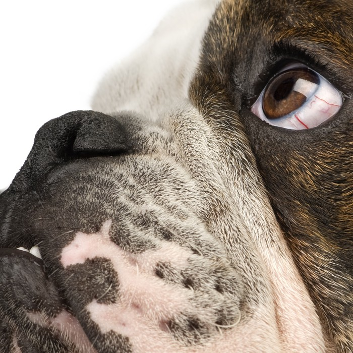 Sticker bulldog anglais 6 mois devant un fond blanc for Dans 6 mois en anglais