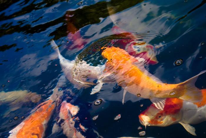 Karpers In Tuin : Fotobehang kleurrijke karpers in een klein zwembad in de tuin op