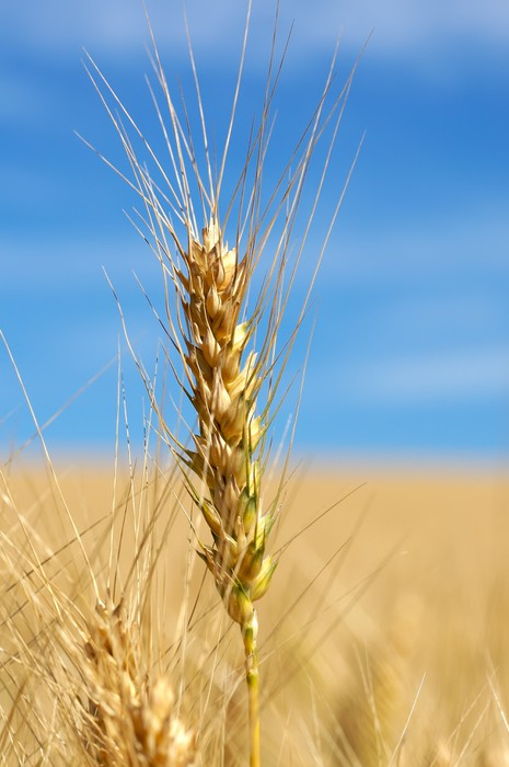 Nálepka Pixerstick Jednotný stonek pšenice s modrou oblohou - Venkov