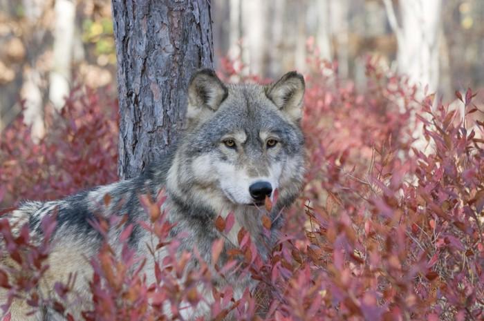 Vinylová Tapeta Šedý vlk v podzimních borůvkové keře - Témata