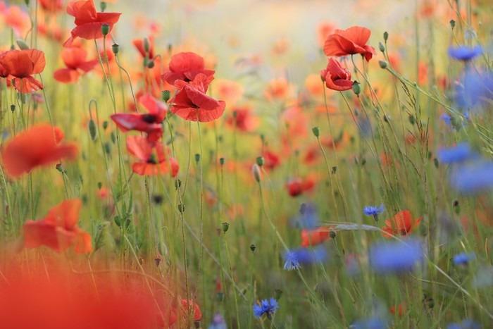 Carta da Parati Prato di fiori selvatici con papaveri e fiordalisi ...