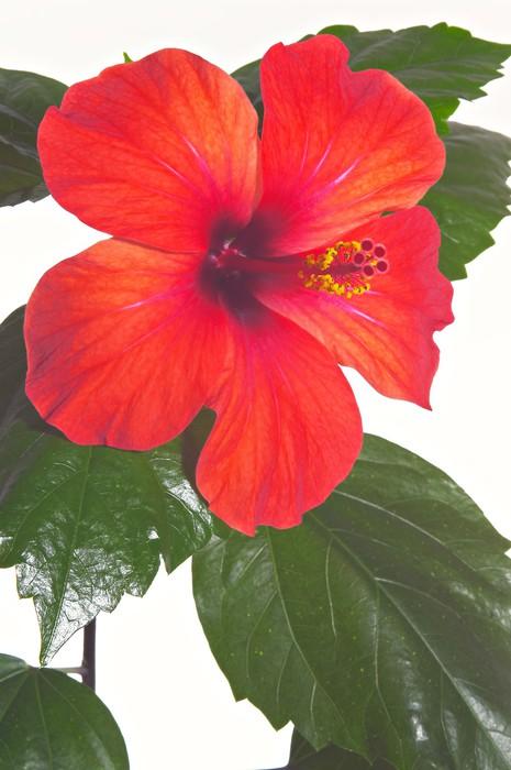 Vinylová Tapeta Růže sléz close-up - Květiny