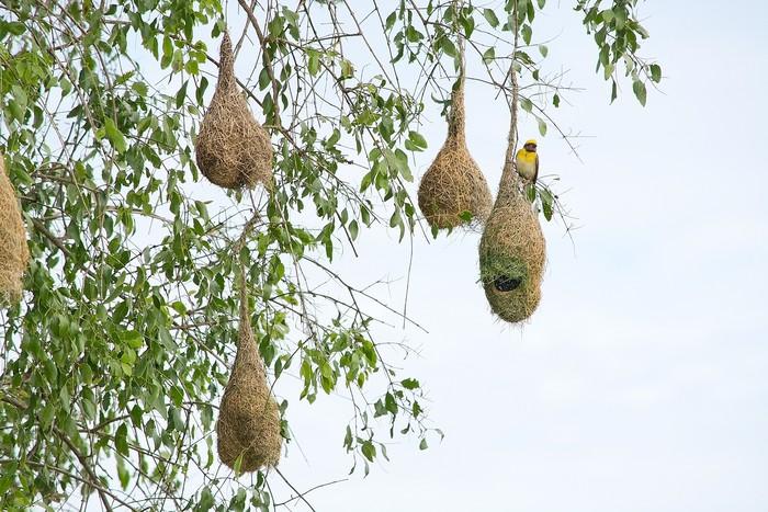 Vinylová Tapeta Weaver ptačí hnízdo visící ze stromu poblíž Indického oceánu v národním parku Yala, Srí Lanka v prosinci. - Ptáci