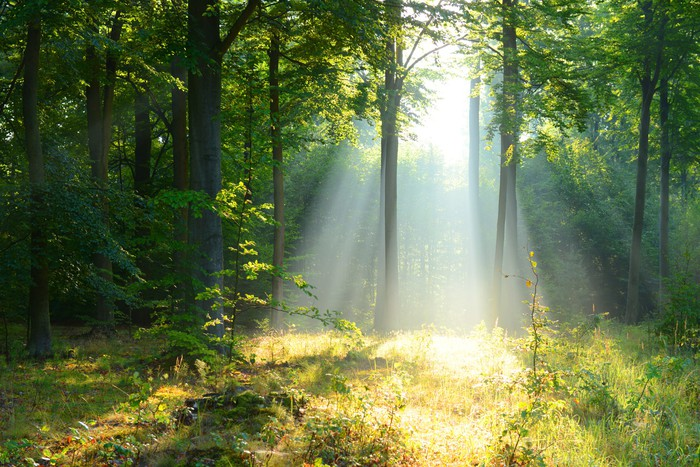 Morning in the forest Wall Mural Pixers We live to change