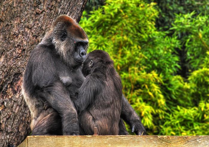 fototapete ein hdr bild von einer mutter und baby gorilla pixers wir leben um zu ver ndern. Black Bedroom Furniture Sets. Home Design Ideas