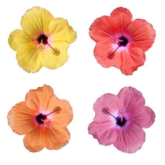 Vinylová Tapeta Hibiscus 4 couleurs sur fond blanc - Květiny
