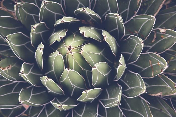 Fototapet av Vinyl Närbild på agave suckulent växt, selektiv fokusera, toning - Växter & blommor